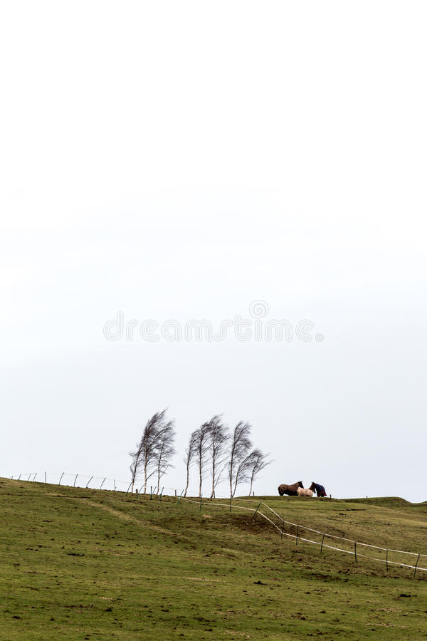 Three horses standing on hill next to birch trees in cold windy stock photos