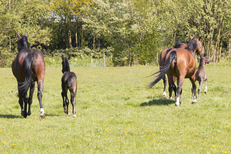 Three horses and two foals running away royalty free stock photos