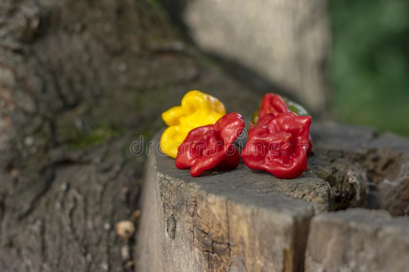 Three hot peppers habanero and bishop crown, various color on wooden stump - yellow and red, green background, mexican cuisine. Very hot ingredients outdoors in royalty free stock photo