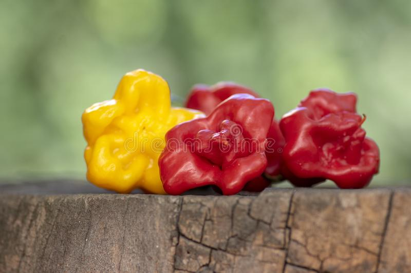 Three hot peppers habanero and bishop crown, various color on wooden stump - yellow and red, green background, mexican cuisine. Very hot ingredients outdoors in stock images
