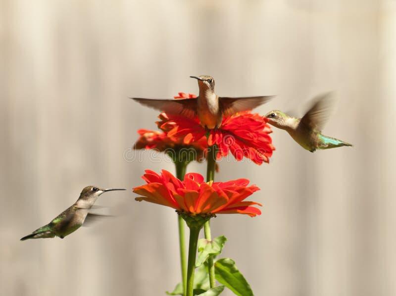Three hummingbirds royalty free stock photography