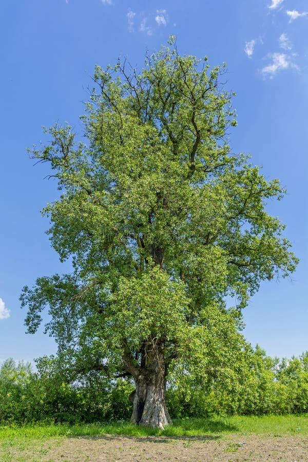 Three hundred years old large poplar royalty free stock image