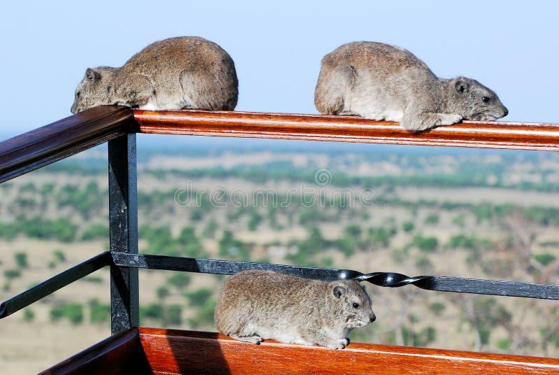 Three hyrax (dassies) herbivorous mammals lying on a railing-Serengeti-Tanzania. Three fairly small, thickset, hyrax (dassies) herbivorous mammals lying on a royalty free stock image