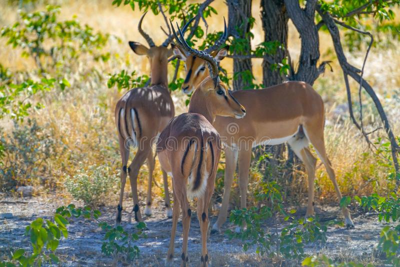 Three impala antelope standing in shade stock photography