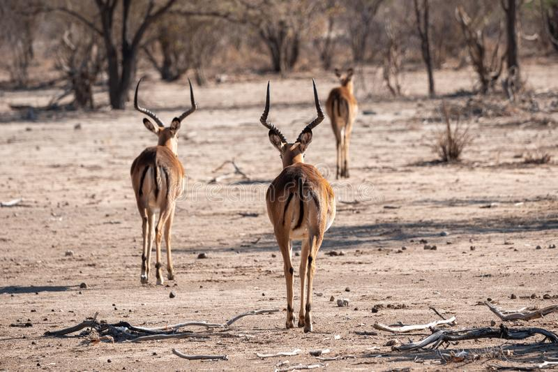Three Impala Antelopes from Behind. Two Male Bucks, One Female Cow, in Dry Savanna stock image