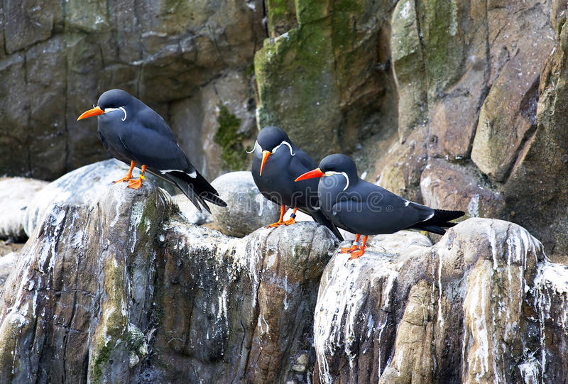 Download Three inca terns stock photo. Image of rocky, island - 19393480