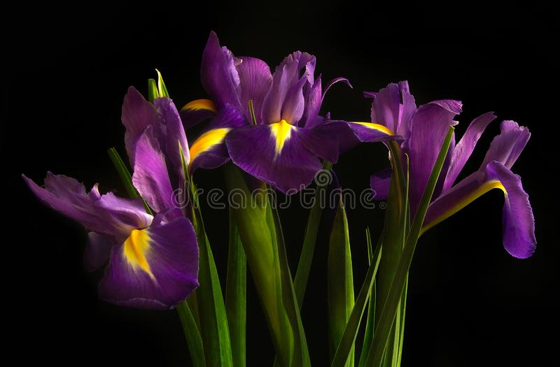 Irises on a black background. Beautiful flowers. Three irises on a black background. Beautiful flowers royalty free stock photos