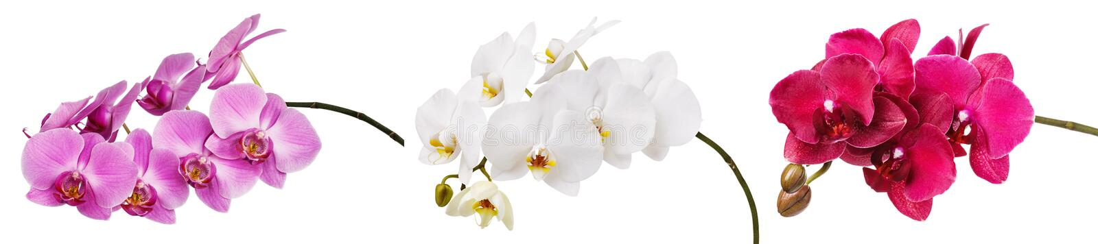 Three isolated branches of a beautiful blooming delicate pink, white and burgundy orchid, having a yellow color on the lower royalty free stock photos