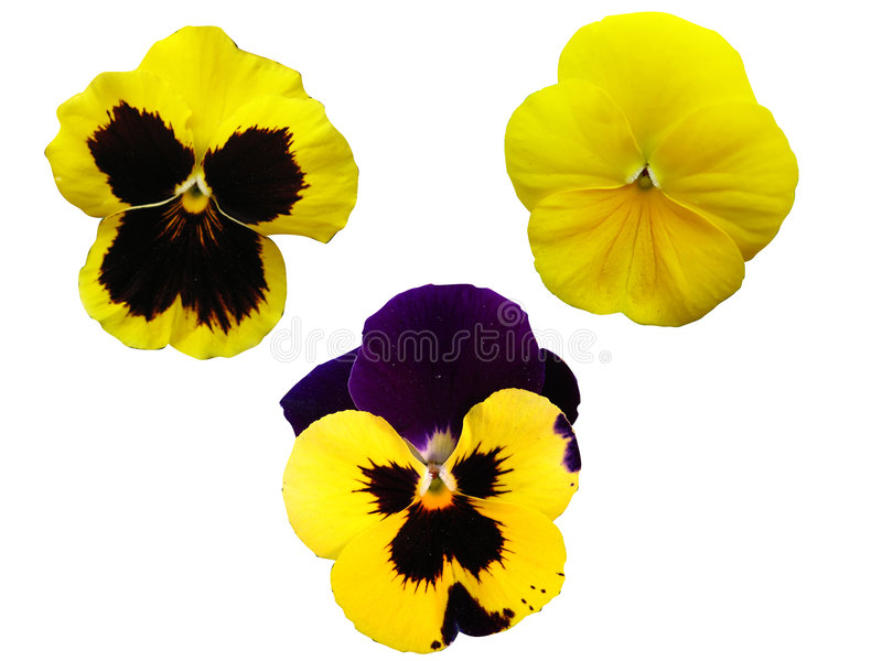 Three isolated pansies royalty free stock images