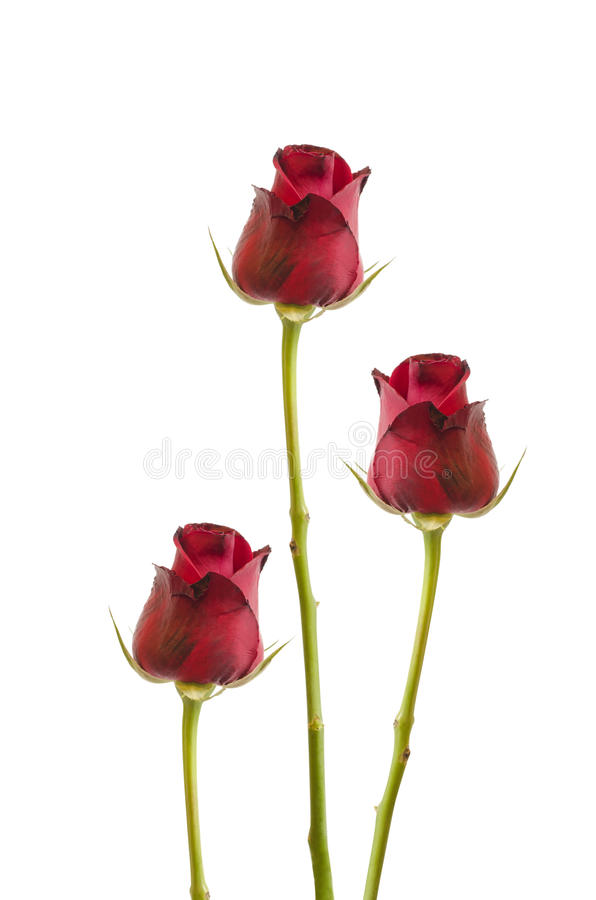 Three isolated red roses on white, Clipping path included royalty free stock image