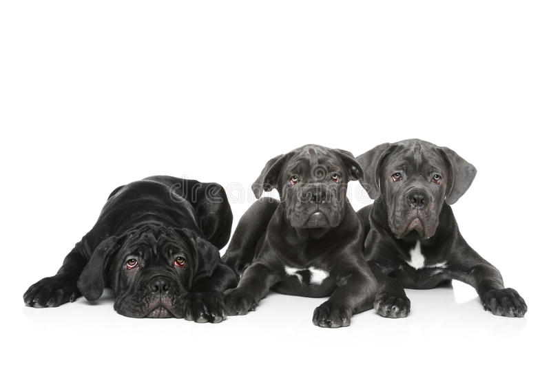 Three italian mastiff puppy. Lie on a white background stock images