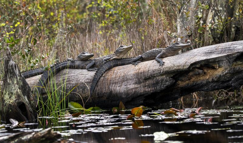 Three juvenile American Alligators basking on a long in Minnies Lake; Okefenokee Swamp, Georgia. Three juvenile American Alligators basking on a long stock photography