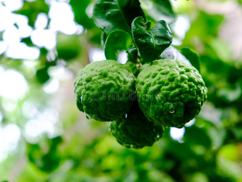 Three kaffir lime and drops of water on the bergamot after rain royalty free stock image