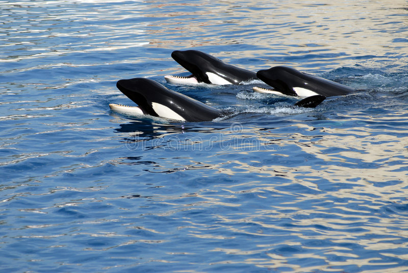 Three killers whales. In water stock images