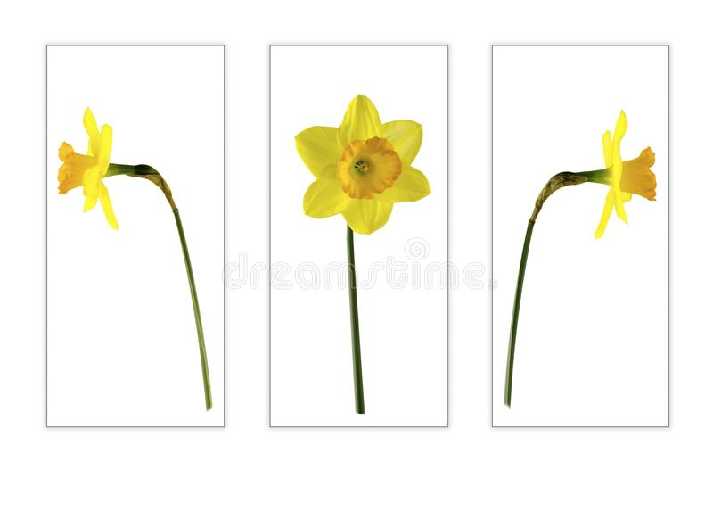 Three of a kind daffodils. View of three yellow daffodils Isolated on a white background in separate boxes royalty free stock photo