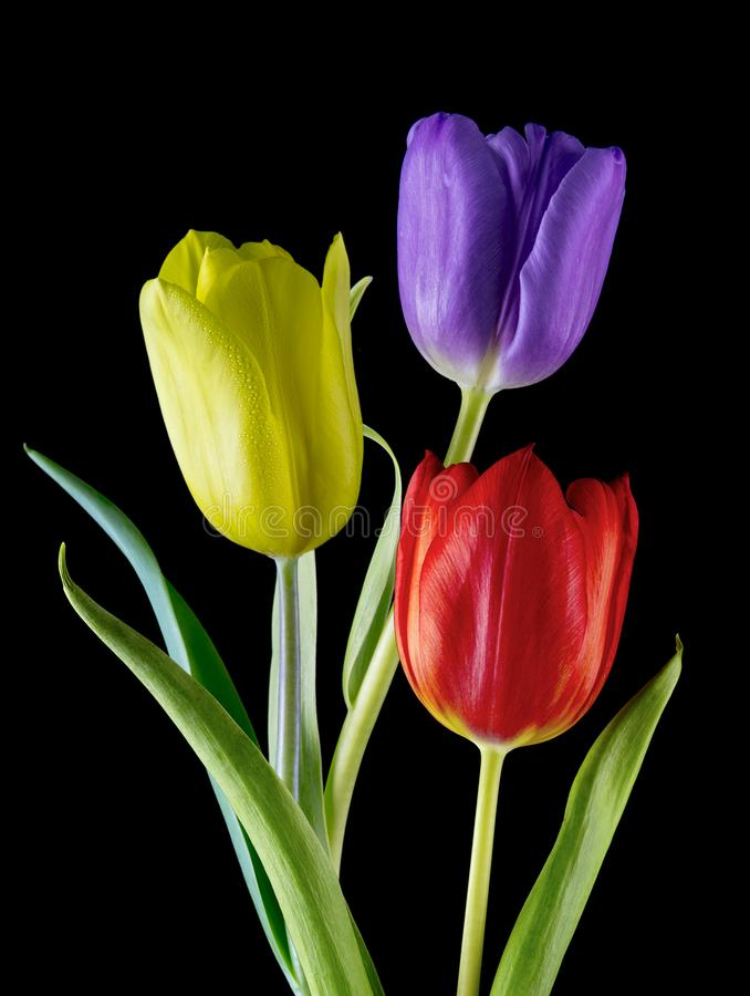 Three of a kind. Detailed view of three different coloured tulips on a black background stock photo
