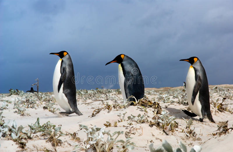 Three King Penguins royalty free stock photo