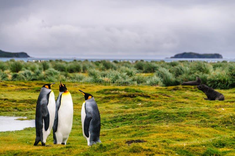 King Penguins on Salisbury Plains. Three King Penguins -Aptenodytes patagonicus- engaging in a courtship ritual on Salisbury plains, South Georgia stock images