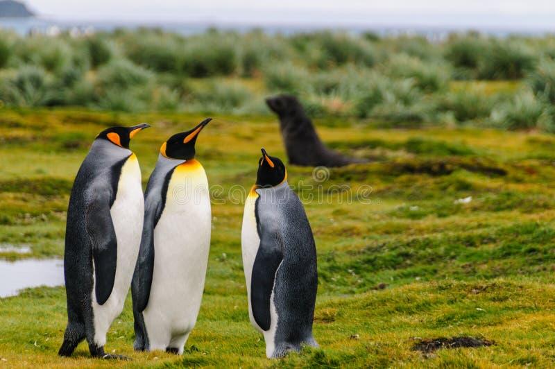 King Penguins on Salisbury Plains. Three King Penguins -Aptenodytes patagonicus- engaging in a courtship ritual on Salisbury plains, South Georgia stock photography