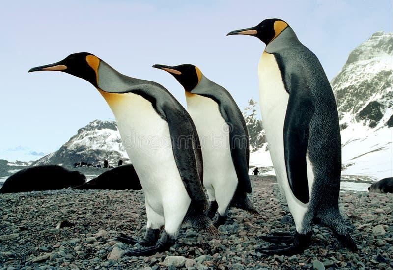 We Three Kings. King penguins photographed on Salisbury Plain, South Georgia in the Antarctic