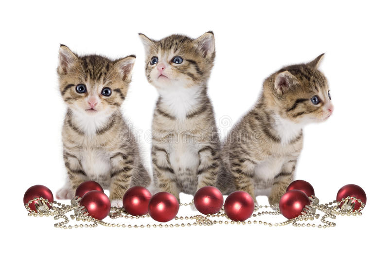 Three kitten on white Background. Christmas, three kitten on white background stock photography