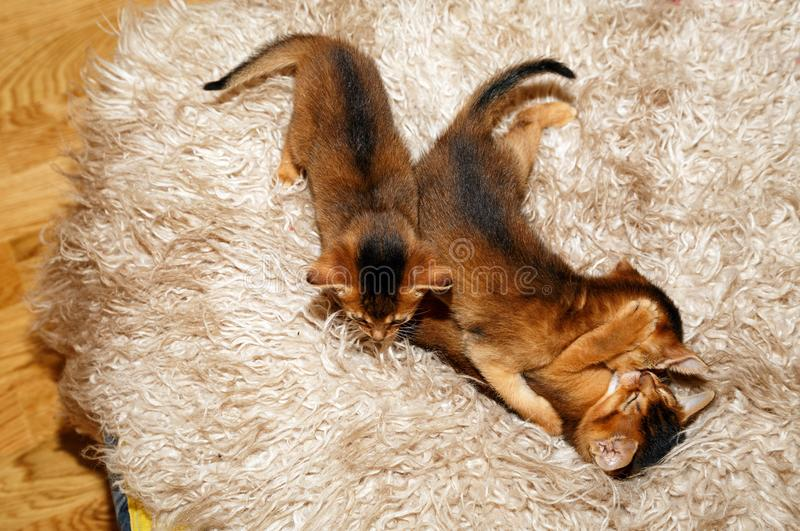 Three kittens of Abyssinian cat. Playing on a fur blanket stock photo