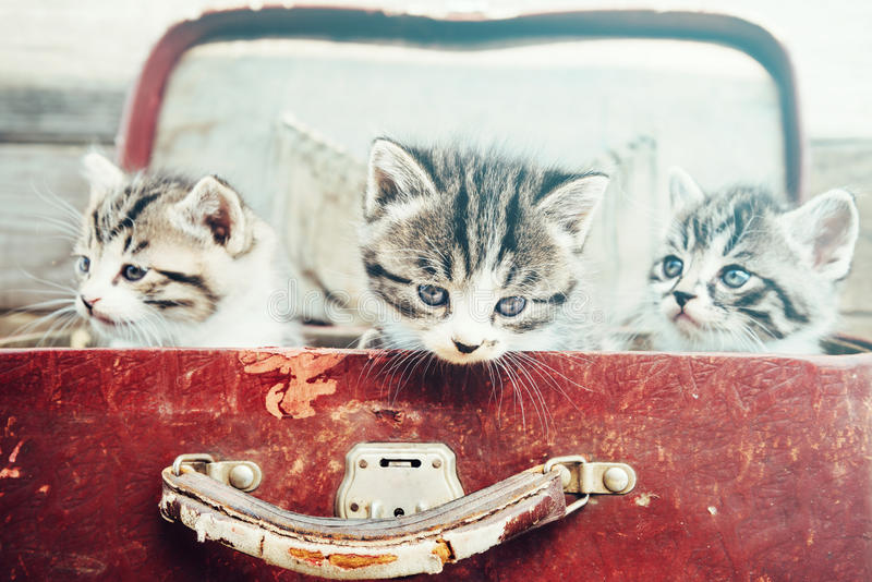 Three kittens in suitcase royalty free stock image