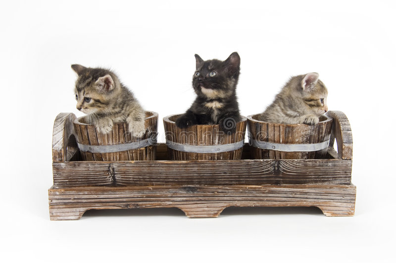 Three kittens in wooden pots. Three kittens peek over the edge of wooden pots on white background royalty free stock images