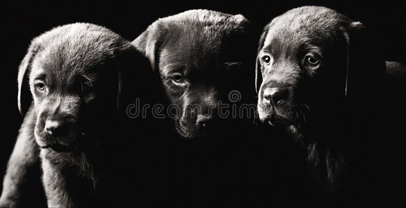 Download Three Labrador Puppies stock image. Image of monochrome - 12079971