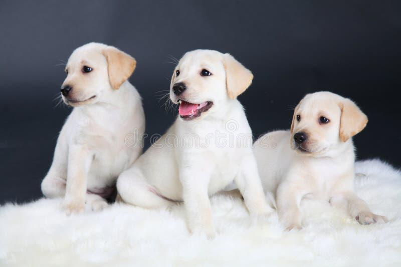 Three Labrador puppies royalty free stock image