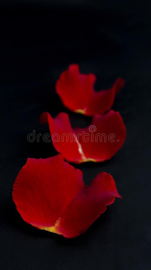 Petals of red rose on a black background royalty free stock photography