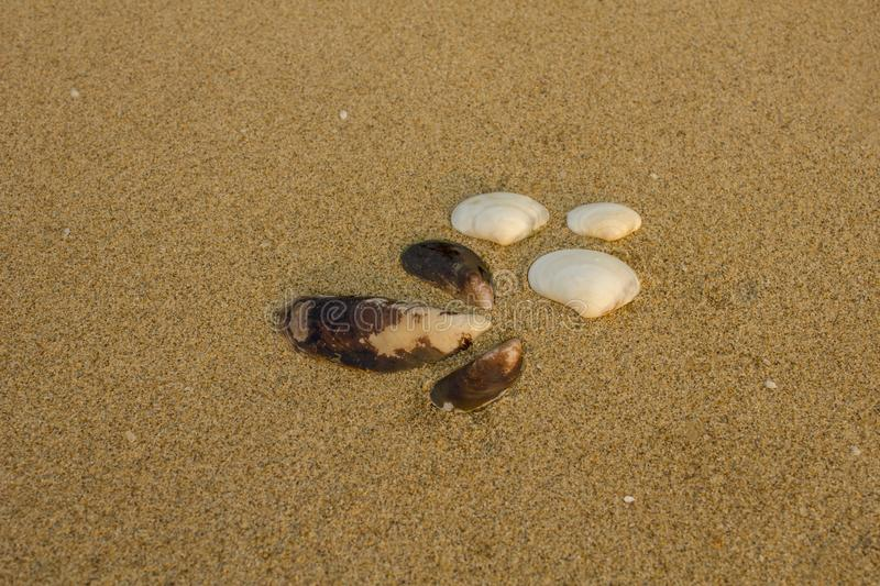 Three large white and three brown shells close-up on a blurred yellow sand with other small pieces of shells stock image