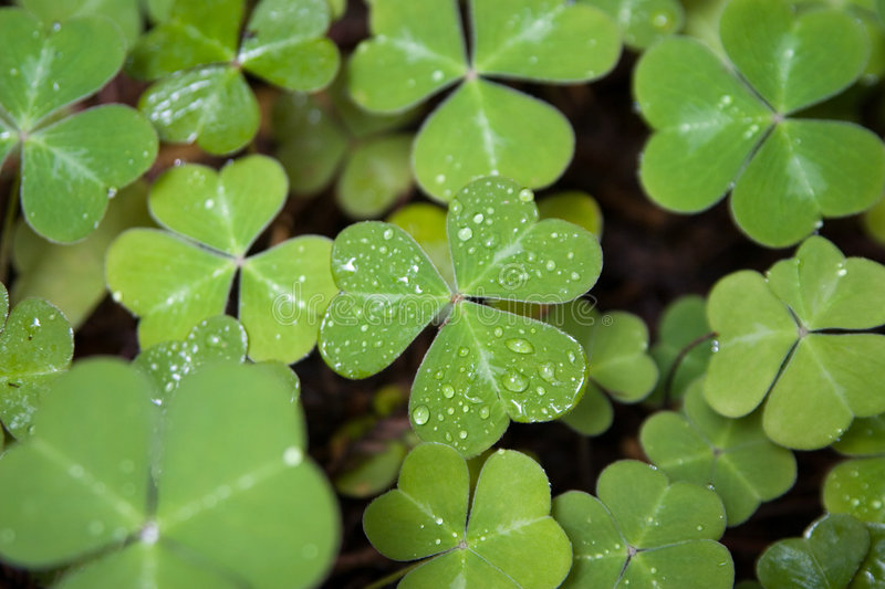 Download Three Leaf Clover stock photo. Image of plant, lucky, irish - 5489128