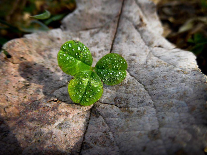 Three leaf clover in early morning royalty free stock photography