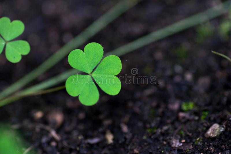 Three leaf clover in the nature - Symbol of luck. A single Three leaf clover in the nature - Symbol of luck stock images