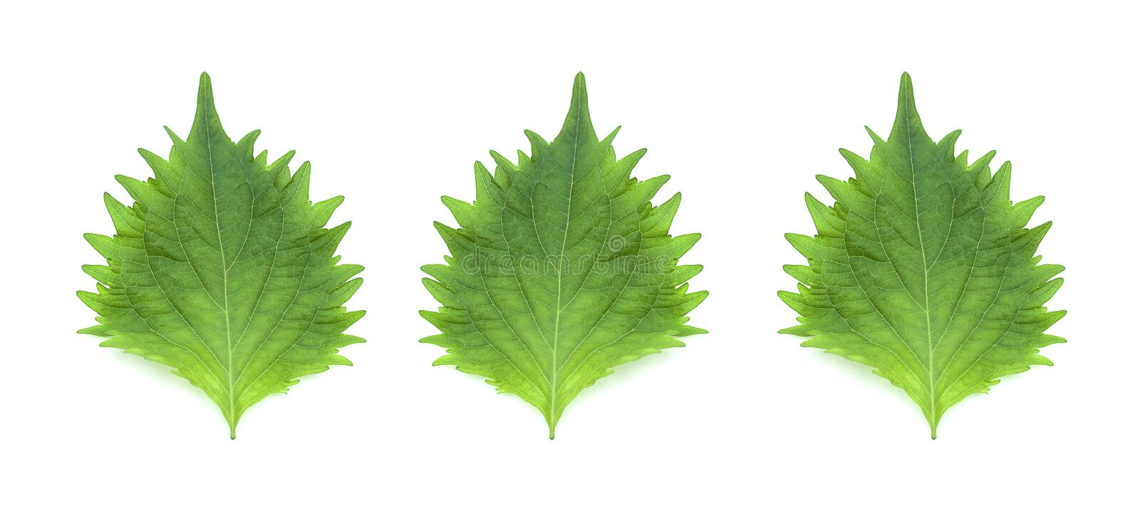 Three leafs isolated on a white background stock photography