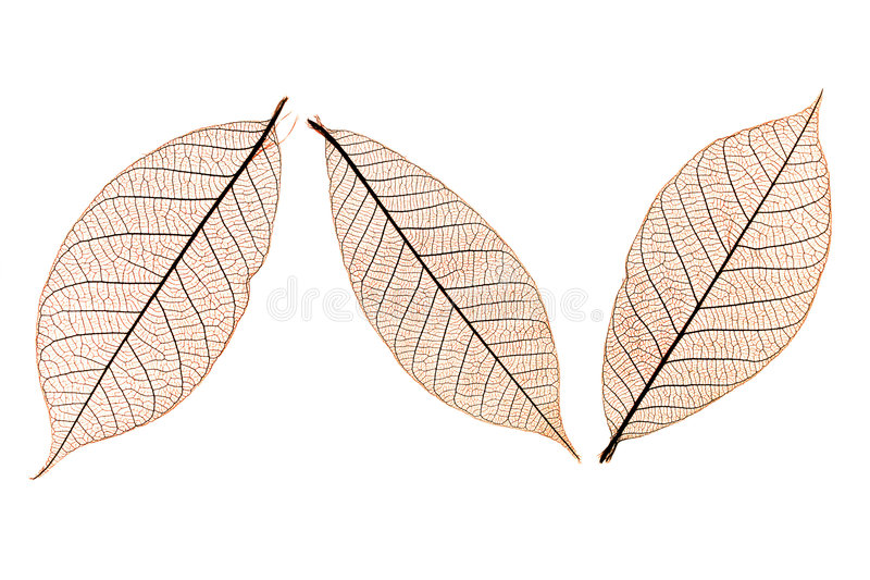 Three leaves. Three brown skeletal leaves showing intricate structure
