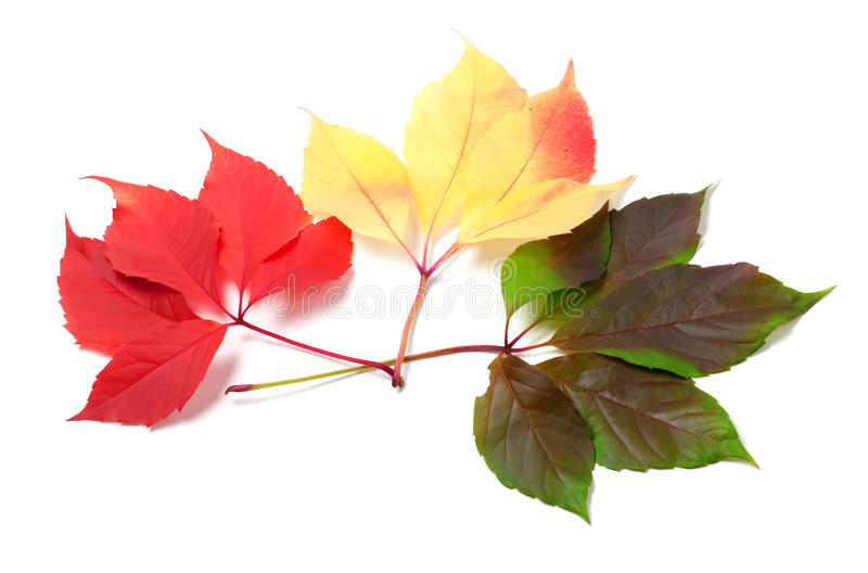 Three leaves of different seasons isolated on white background. Three leaves of different seasons on white background. Virginia creeper leaves stock image