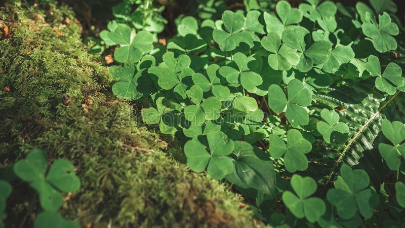 Three leaves shamrocks growing in the forest stock images
