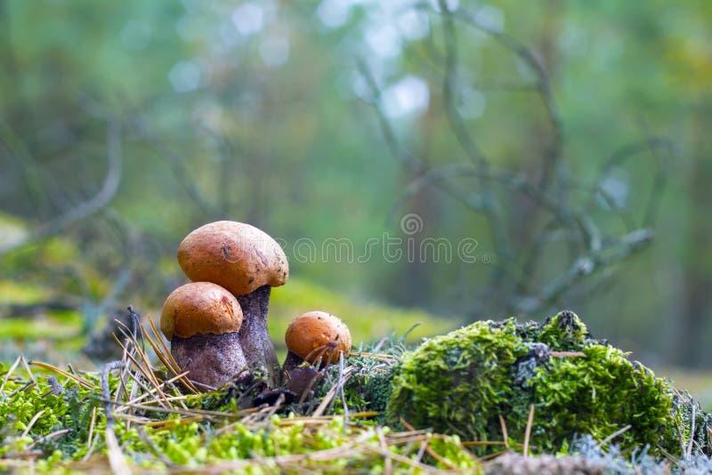 Three leccinum grows. Three small leccinum mushrooms growing in forest moss. Orange cap boletus grow in wood. Beautiful edible autumn bolete royalty free stock image