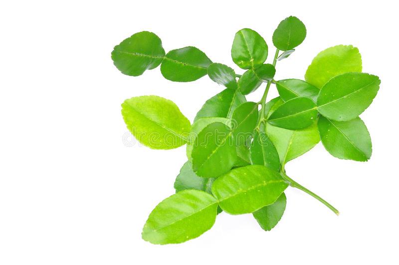 Three leech lime leaf isolated royalty free stock photo
