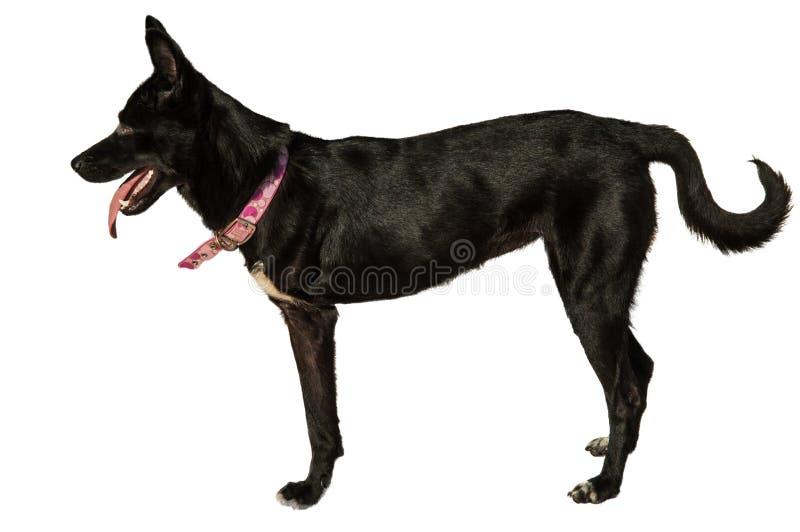 Three legged dog stock image