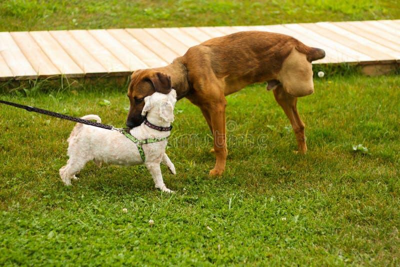 Three legged dog meeting royalty free stock photo