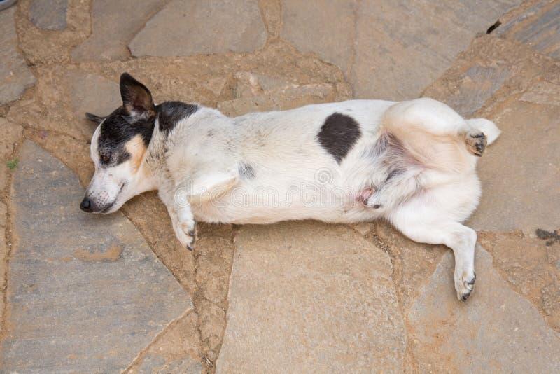 Three legged Jack Russell dog royalty free stock image