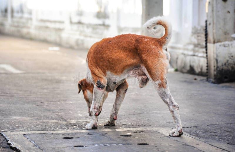 Three legged mixed-breed dog, royalty free stock images