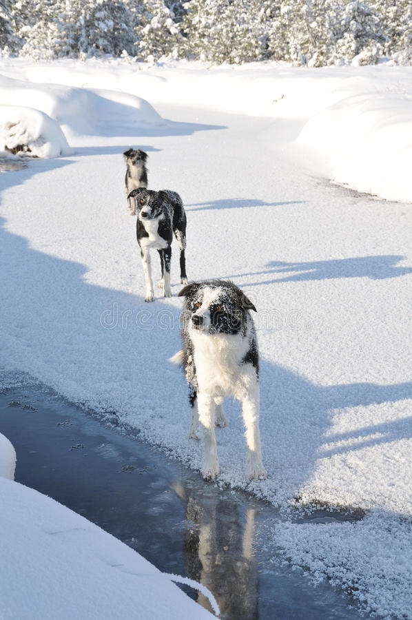 Free Three Lined Up Dogs On A Frozen River Stock Photos - 12347213