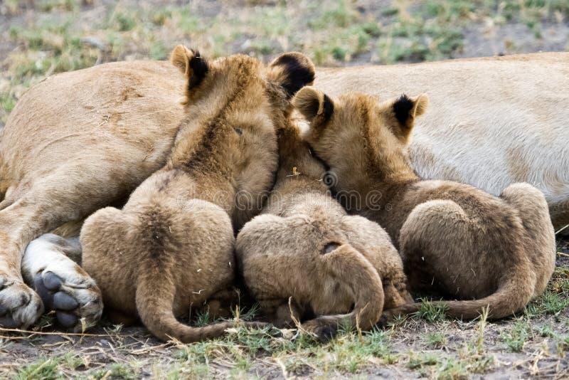 Three lion cubs nursing. Three lion cubs nursing their mother lioness in Botswana Africa. Okavango Delta royalty free stock image