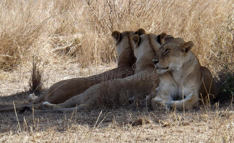 three lioness at tanzania royalty free stock images