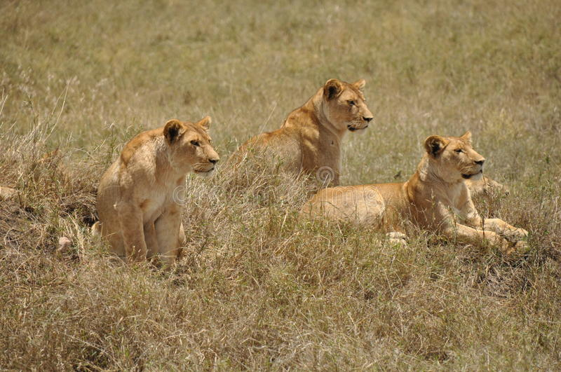Three lionesses royalty free stock photos