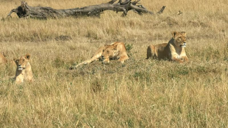 Three lionesses laying on the ground in masai mara game reserve, kenya royalty free stock photo